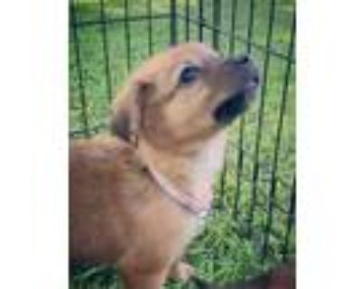 Adopt Scarlet a Mixed Breed
