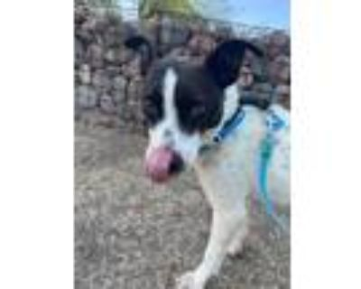 Adopt Russell a White - with Black Cattle Dog / Jack Russell Terrier dog in