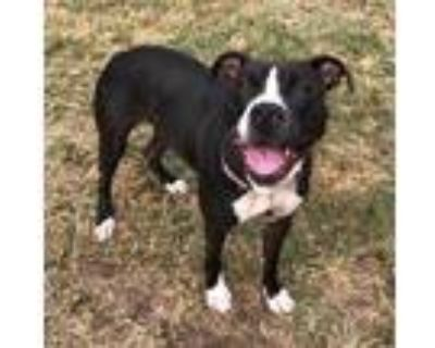 Adopt Josie a American Pit Bull Terrier / Mixed dog in Little Rock
