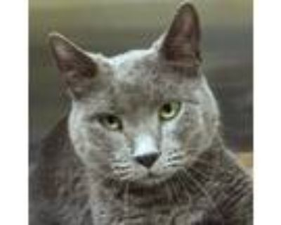 Adopt Betty a Gray or Blue Domestic Shorthair / Mixed cat in Springfield