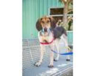 Adopt Butter Pecan a Hound (Unknown Type) / Mixed dog in Albuquerque