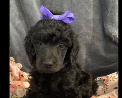 Standard Poodle Puppies!  Beautiful Blues! Smaller Standards