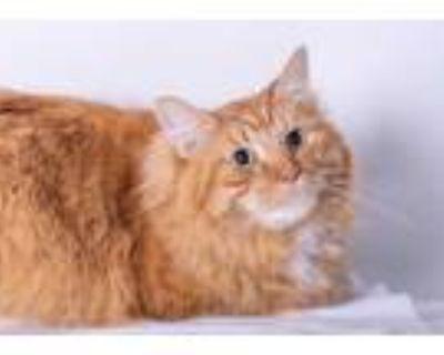 Adopt Pumpkin a Orange or Red Domestic Longhair / Domestic Shorthair / Mixed cat