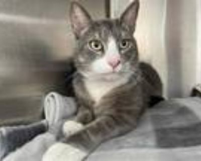 Adopt KITTY a Gray or Blue Domestic Shorthair / Mixed (short coat) cat in Los