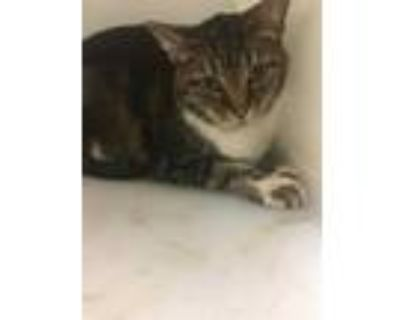 Adopt NORMAN a Brown Tabby Domestic Shorthair / Mixed (short coat) cat in