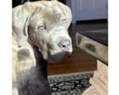 Adopt Rocco a Gray/Silver/Salt & Pepper - with White Cane Corso / Mixed dog in