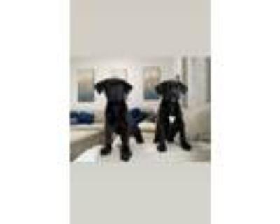 Adopt Kelsey & Nebula a Labrador Retriever