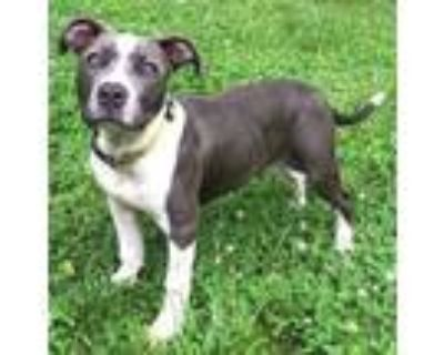 Adopt Cecily a Gray/Blue/Silver/Salt & Pepper American Pit Bull Terrier / Mixed