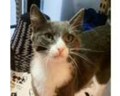 Adopt Edie a Gray or Blue (Mostly) Domestic Shorthair / Mixed (short coat) cat