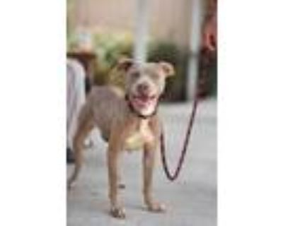 Adopt NOVA a Brown/Chocolate - with White American Pit Bull Terrier / Mixed dog