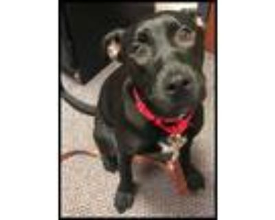 Adopt Diamond Dior a Black American Pit Bull Terrier / Mixed dog in Queenstown