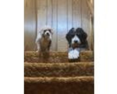 Adopt Bentley a Black - with White Bernese Mountain Dog / Poodle (Standard) /