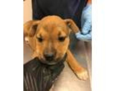 Adopt 48035076 a Brown/Chocolate American Pit Bull Terrier / Australian Cattle