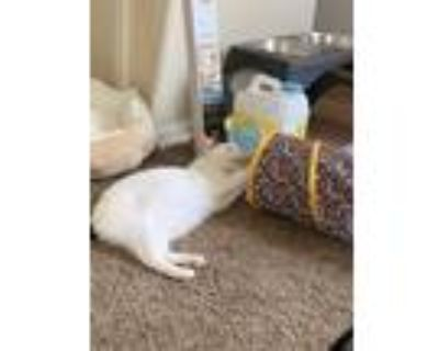 Adopt Vinny a White Domestic Shorthair / Mixed (short coat) cat in Clarksville