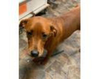 Adopt Willie a Labrador Retriever, Hound