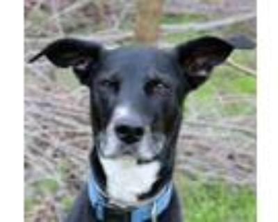 Adopt King/Skyfall a Labrador Retriever, Whippet