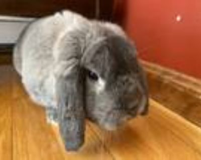 Adopt Rudolph a Grey/Silver Other/Unknown / Mixed rabbit in Woburn