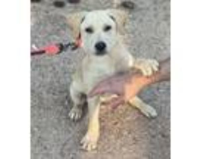 Adopt Butterscotch a Labrador Retriever