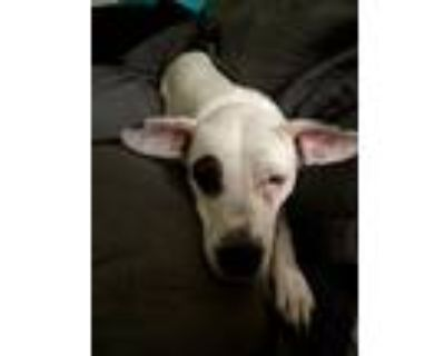 Adopt Abi a White - with Black Terrier (Unknown Type, Medium) / Mixed dog in
