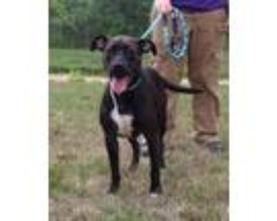 Adopt LUCKY SOSSIDGE a Pit Bull Terrier, Boxer