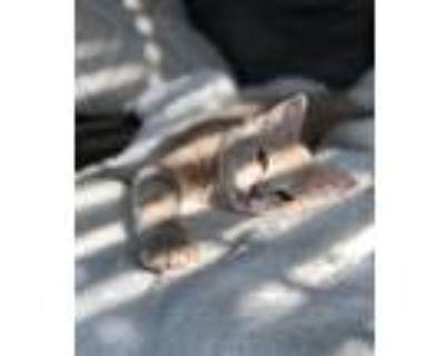 Adopt Buffy a Tan or Fawn Tabby Domestic Mediumhair cat in Lorton, VA (32004795)
