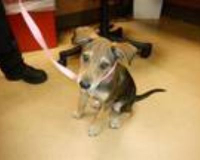 Adopt #ANTHONY a German Shepherd Dog, Mixed Breed