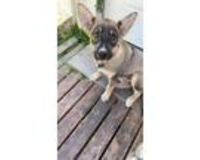 Adopt Kody a Black - with Tan, Yellow or Fawn Husky / German Shepherd Dog /