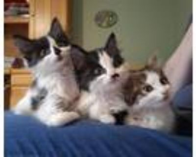 Adopt The Scientist kittens (Isaac Newton, Nikola Tesla and Marie Curie) a
