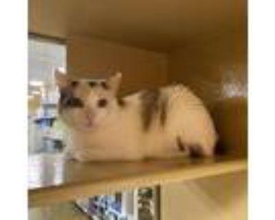 Adopt Mamas a White Manx / Mixed cat in Hemet, CA (31348156)