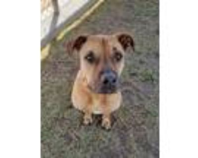 Adopt *PENELOPE a Brown/Chocolate Boxer / Mixed dog in Bakersfield