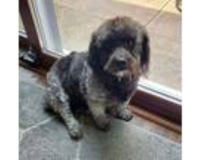Adopt Colby and Marley (bonded pair) a Poodle