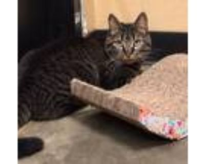 Adopt Autumn a Gray, Blue or Silver Tabby Domestic Shorthair (short coat) cat in