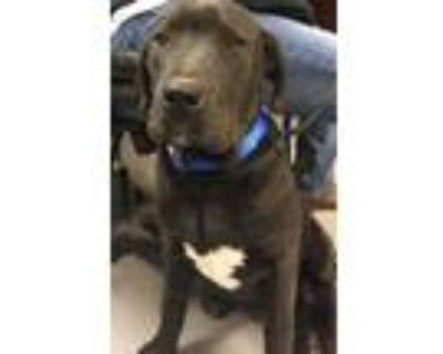 Adopt BEAR a Black Labrador Retriever / Mixed dog in Los Lunas, NM (30273770)