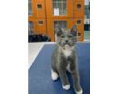 Adopt Kameo a Gray or Blue Domestic Shorthair / Domestic Shorthair / Mixed cat