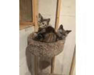 Adopt Broken tail & Ghost a Spotted Tabby/Leopard Spotted American Shorthair /