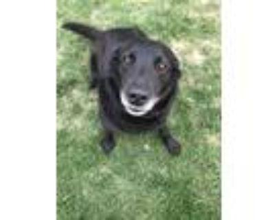 Adopt Roxie a Black Keeshond / Labrador Retriever / Mixed dog in Fulton