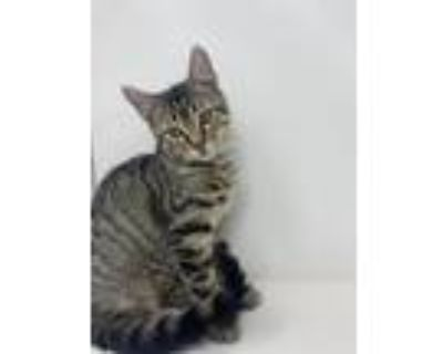 Adopt Jules a Brown Tabby Domestic Shorthair / Mixed cat in Abbeville