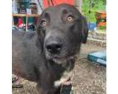 Adopt George a Black Great Pyrenees / Irish Wolfhound / Mixed dog in Bartlett