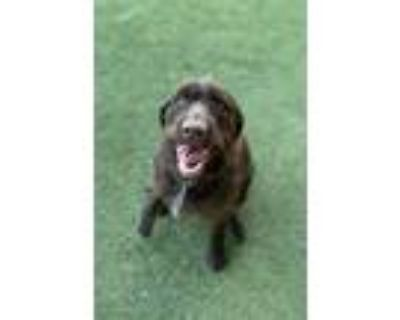 Adopt Maggie a German Wirehaired Pointer, Mixed Breed