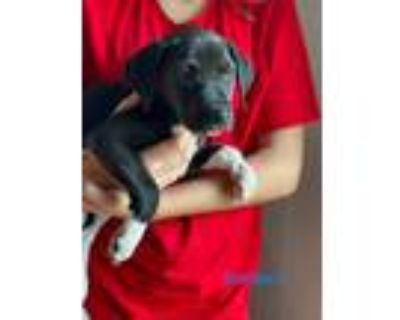 Adopt Snickers a Black - with White Hound (Unknown Type) / Pointer dog in