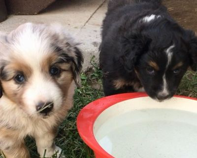 "Australian Shepherd Puppies Available - ""Giant Minis"""