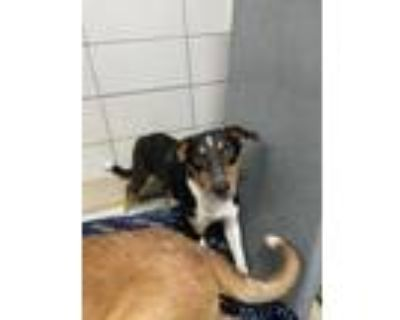 Adopt 47983545 a Black Retriever (Unknown Type) / Mixed dog in Fort Worth