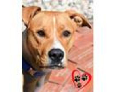Adopt Rose a Tan/Yellow/Fawn American Pit Bull Terrier / Mixed dog in Cheyenne