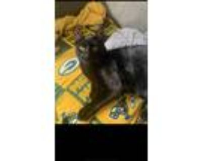 Adopt Pepper a All Black American Shorthair / Mixed (short coat) cat in South