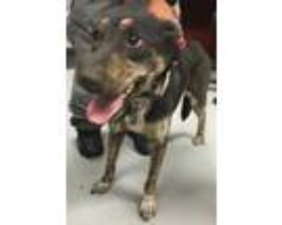 Adopt 48012397 a Black Shepherd (Unknown Type) / Mixed dog in Los Lunas
