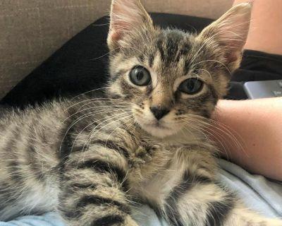 Willy - Domestic Shorthair - Kitten Male