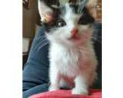 Adopt XRay a Domestic Shorthair / Mixed cat in Los Lunas, NM (32053800)