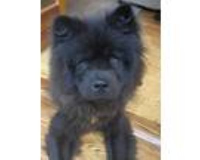 Adopt Bowie a Chow Chow