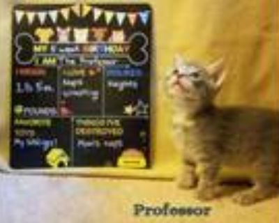Adopt Professor *kitten* a Gray, Blue or Silver Tabby Domestic Shorthair / Mixed