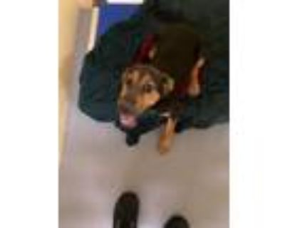 Adopt Janelle a German Shepherd Dog, Mixed Breed